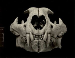 Felis californica, anterior skull, from Placer Co., CA - MVZ Archives